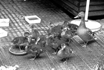 19840614  Ente brütet auf Dachgarten