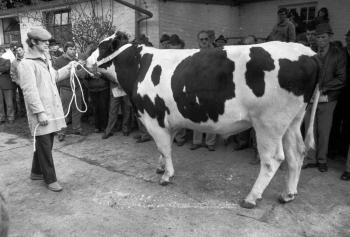 19850306 Zuchtbullenschau